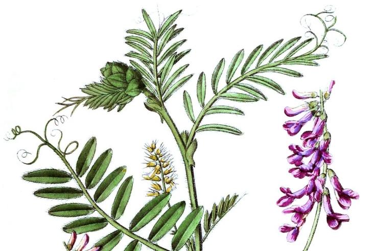 botanische-tekening-extragr-bonte-wikke.jpg